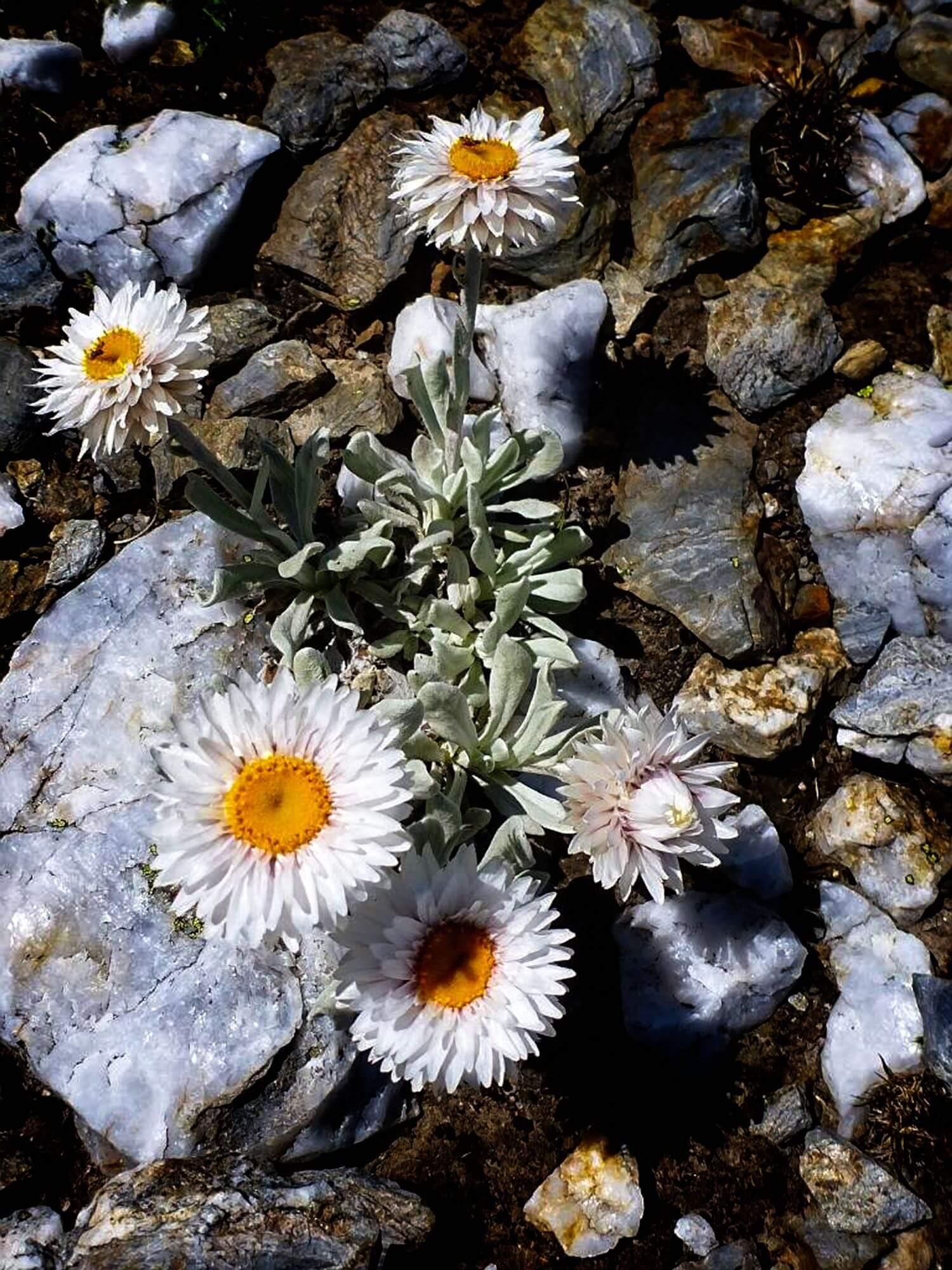 Kosciuszko Alpine Daisy