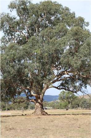 Ancient Redgum - Corryong Wetlands
